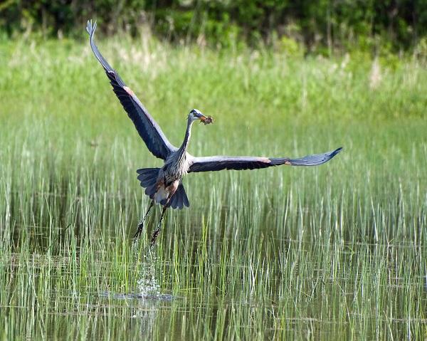 Habitat for Herons