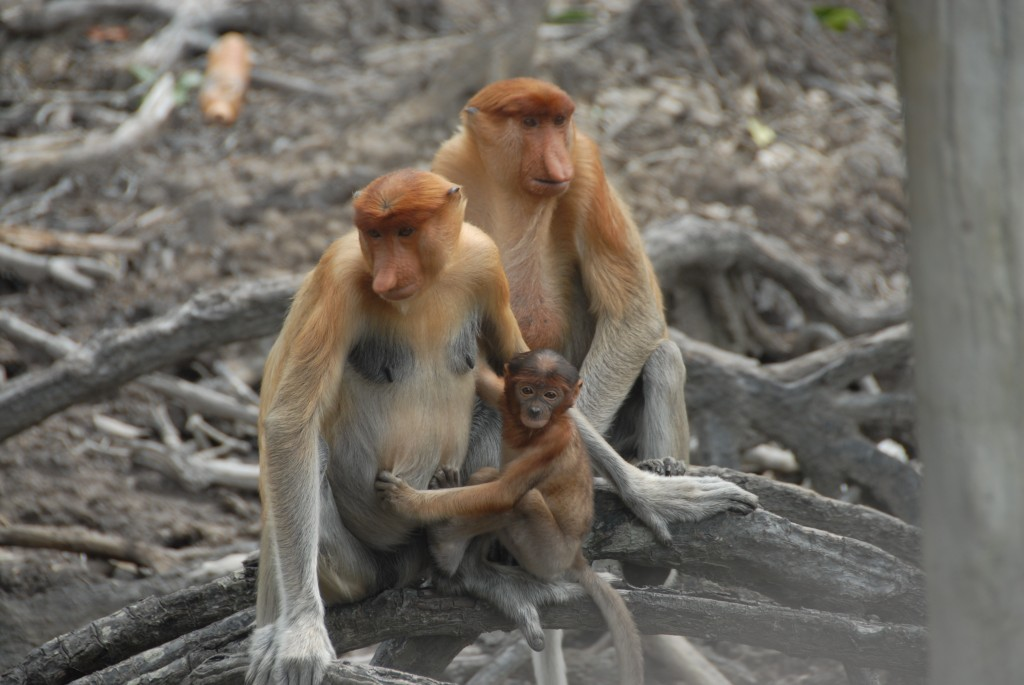 Photo 6: Proboscis family 6. The biodiversity of Borneo is staggering. During our brief visit, we encountered several species of primates. Here is a family of proboscis monkeys in a private sanctuary just outside the city of Sandakan.