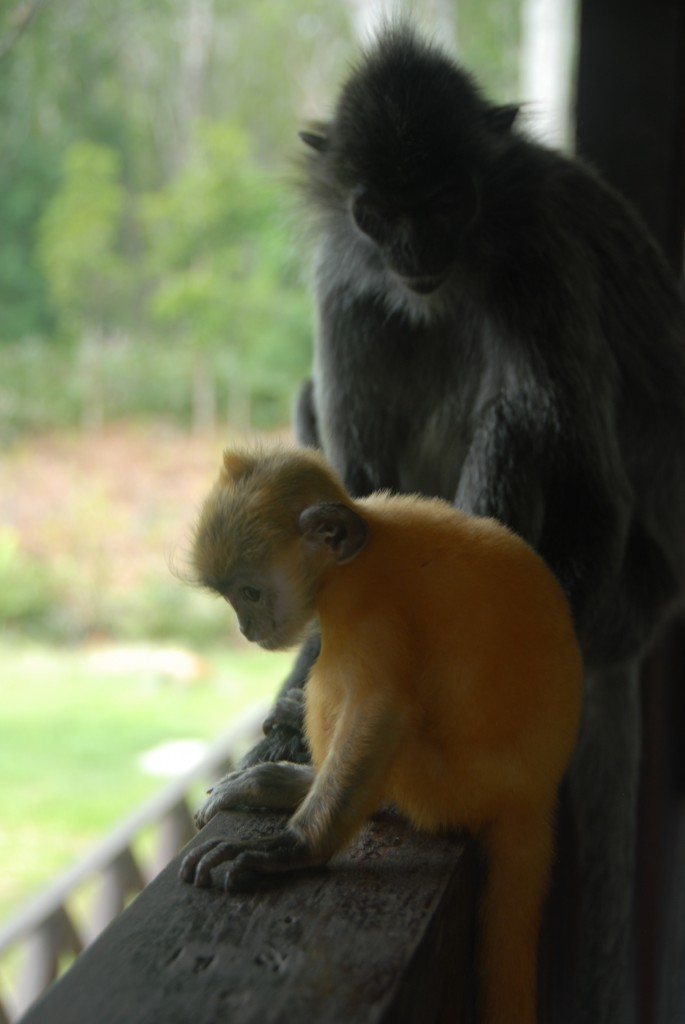 Photo7: Silverback The silverback monkey is born a beautiful bright pumpkin color, then darkens with age.