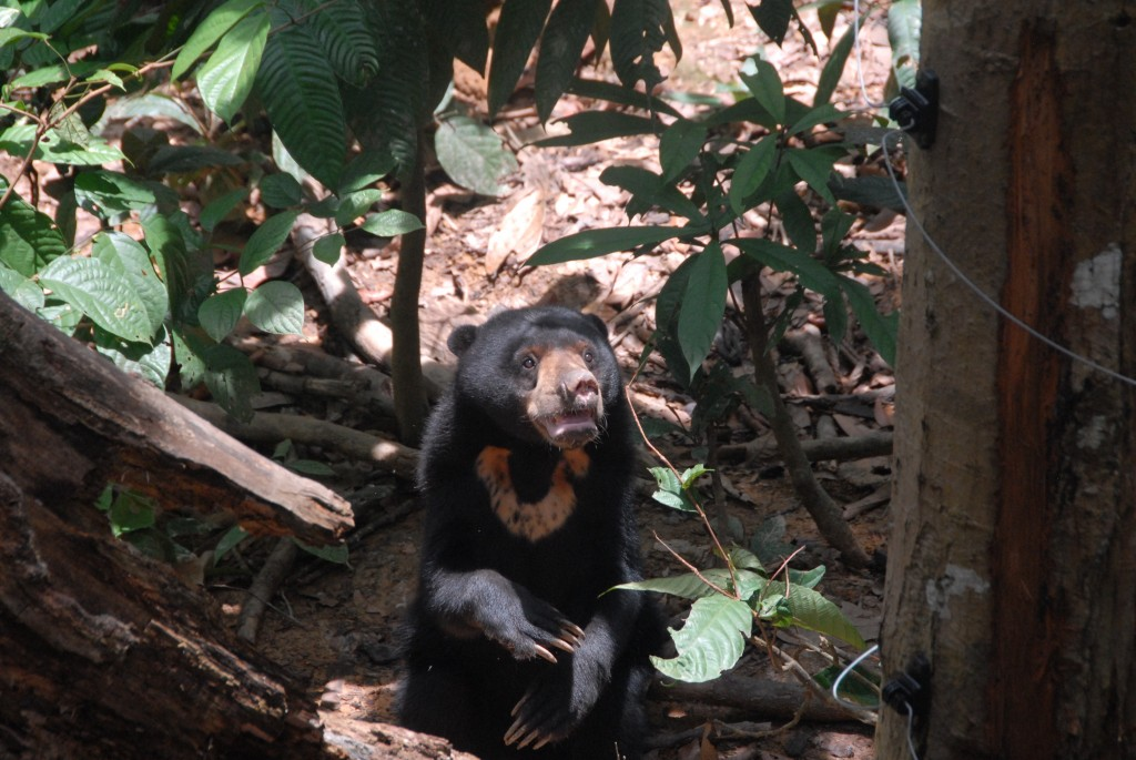 Photo 5: Sun Bear. Just minutes from the Rainforest Discovery Center, the Bornean Sun Bear Conservation Center promotes sun bear conservation through rehabilitation, education, and research. As oil palm plantations expanded, native habitat shrunk, displacing sun bears, orangutans, pygmy elephants, and many other animals. Wong Siew, the Center's founder, has devoted his life to sun bear conservation.
