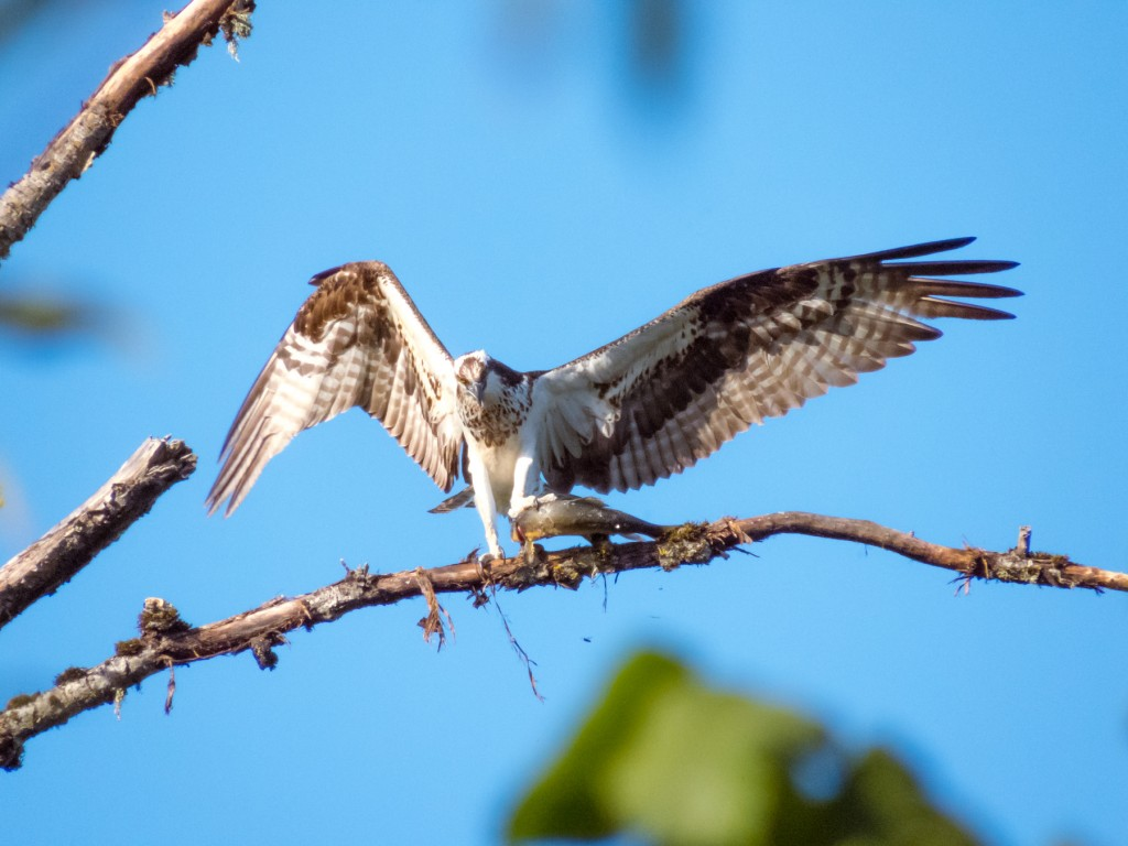 "This osprey called to me from a distance, "" Come, see what I caught!"""